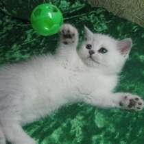 Британские котята окраса серебристая шиншилла, в г.Варшава