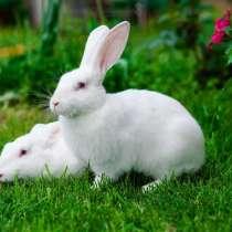 Кролики на разведение, в Санкт-Петербурге