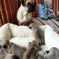 Продаём роскошных щенков породы Мопс, в г.Висагинас