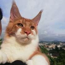 Питомник кошек породы мей-кун CEPHEUS предлагает котят, в Сочи