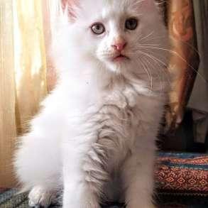 Мейн Кун котята из Московского питомника, в Москве