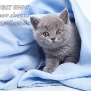 Голубые британские котята, в Москве
