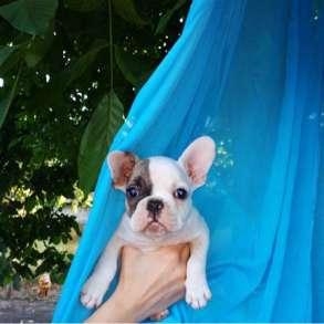 Продам щенка французского бульдога-девочка, в г.Кривой Рог