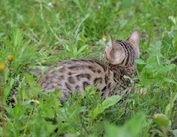 Бенгальсике котята в Нижнем Новгороде фото 13