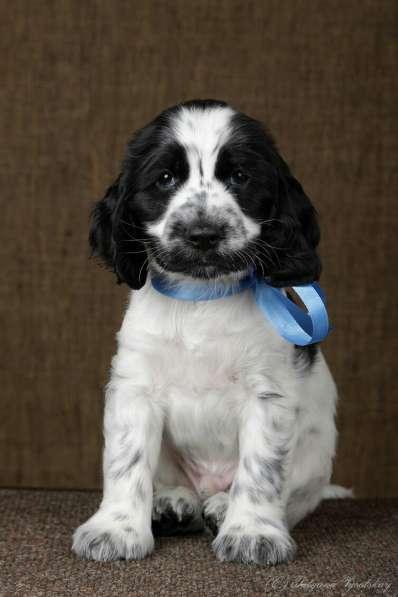 Чудесные щенки английского кокер-спаниеля ждут вас в Перми фото 7