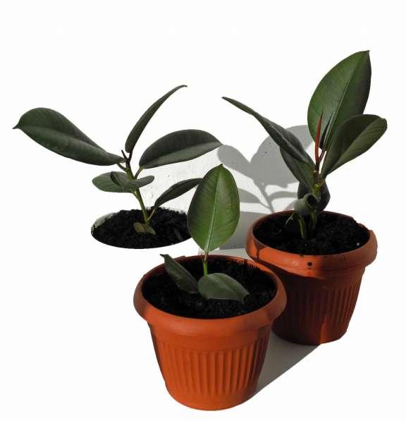 Домашнее растение фикус