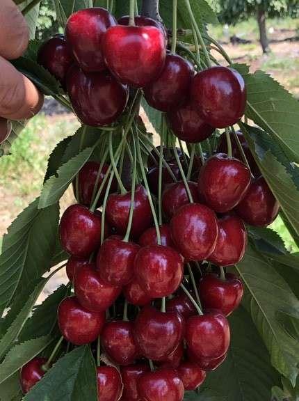 Саженцы яблони, питомники саженцев яблонь в фото 4