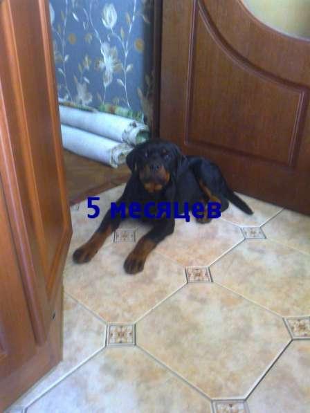 Продается щенок ротвейлера 6мес