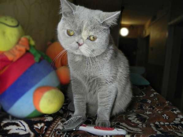 Прикольные шотландцы - Чистокровные шотландские котята