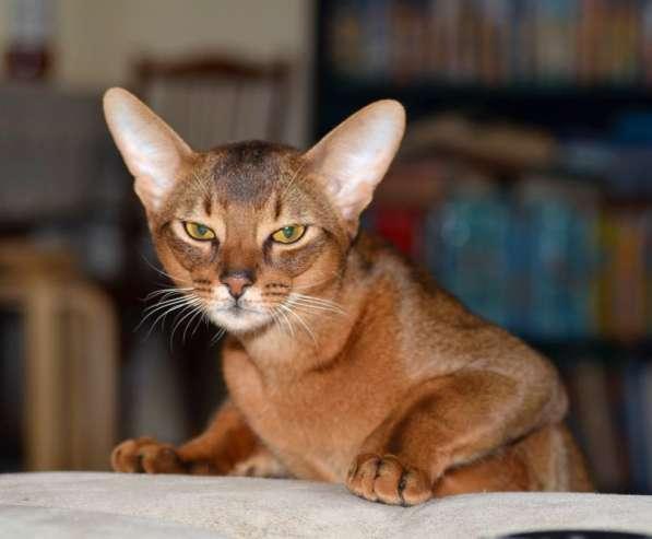 Абиссинский кот на вязку в Нижнем Новгороде фото 4