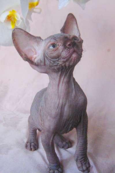 Элитные котята канадского сфинкса редких окрасов