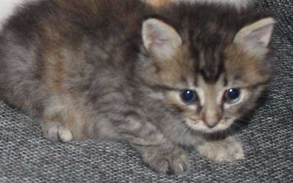 Котята,1.5мес в добрые руки (львёнок, тигренок и плюшка)- в Калуге фото 3