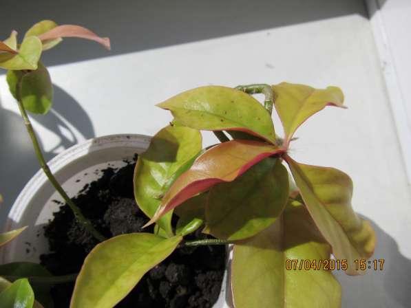 Листовой кактус