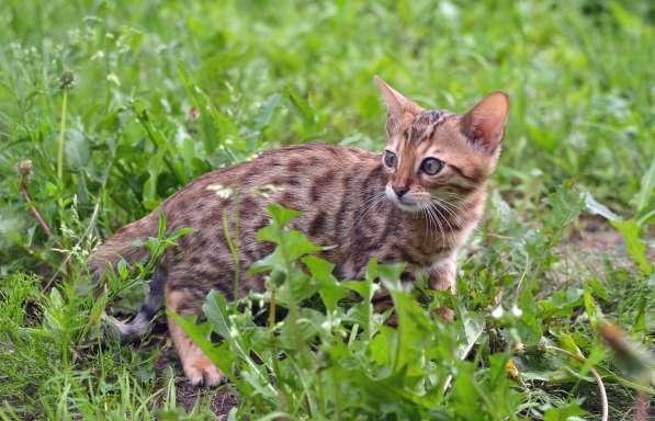 Бенгальсике котята в Нижнем Новгороде фото 15