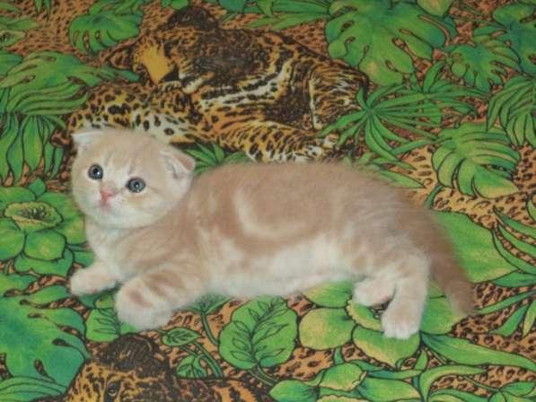 Шотландские мраморные котята