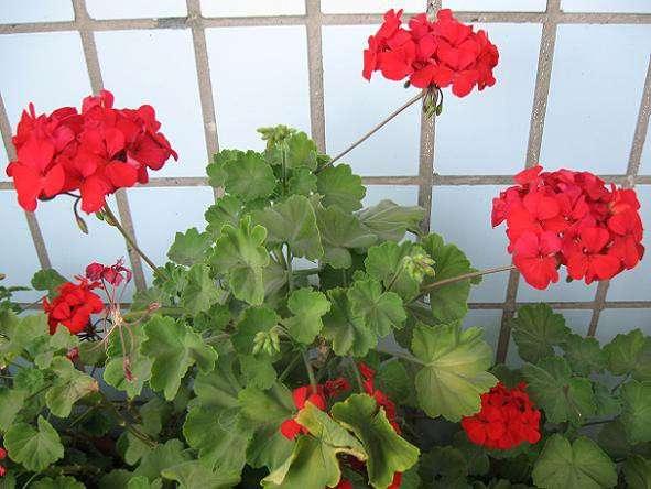 Герань красная, молодое растение