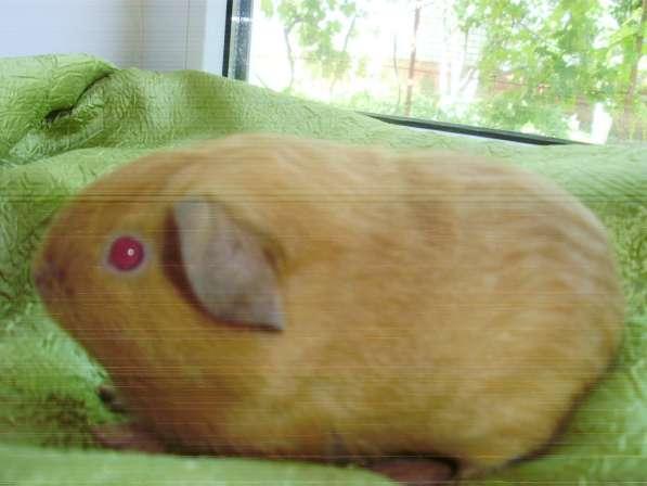 Породистая морская свинка