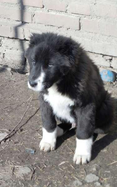 Продам щенков среднеазиатской овчарки