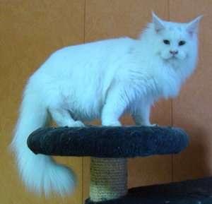 Продам котенка Мэйн Кун в Люберцы фото 6