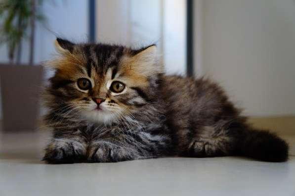 Британские длинношерстные(хайленд) котята уникальных окрасов