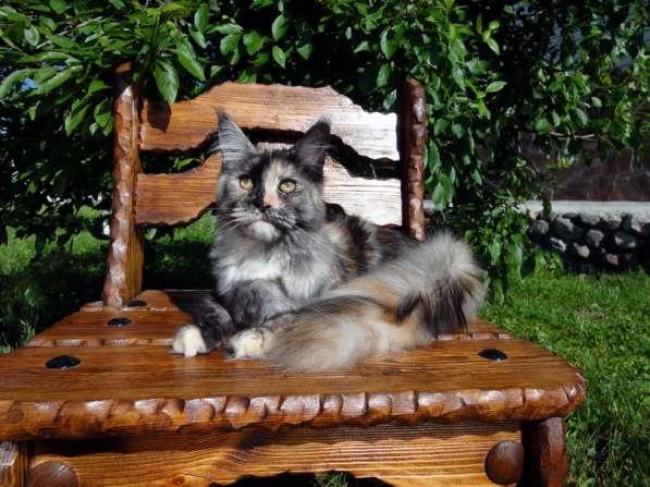 Кошечка мейн-кун из питомника