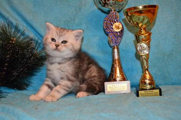 Породистые котята в Кисловодске фото 7