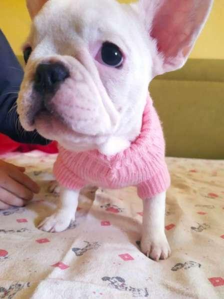 French Bulldog puppy в