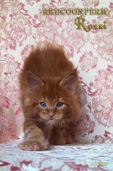 Котенок мейн кун красный солид. Шоу класс в Перми