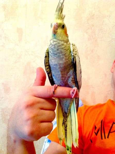 Продаются птенчики корелл и волнистых попугав-для обучения