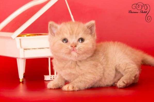 "Британские котята из питомника ""Elite Charme"""