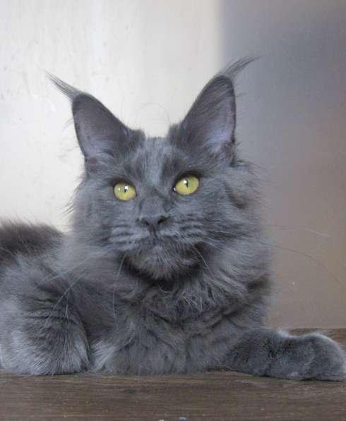Котята мейн-кун в Уфе