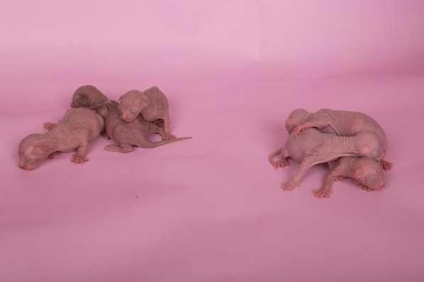 Котята Эльф, Двэльф, ба–в лучших традициях стандарта породы! в фото 3