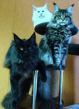 Продам котенка Мэйн Кун в Люберцы фото 5
