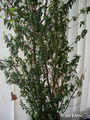 Мирт,25 см, молодое растение