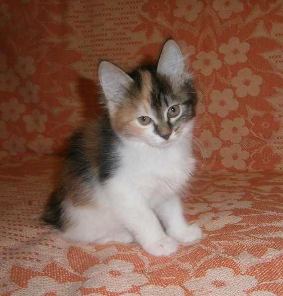 Котята курильского бобтейла в Тюмени