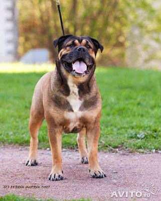 Алиментный щенок ка де бо