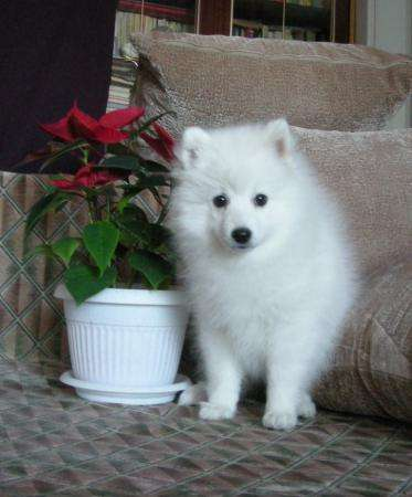 Японский шпиц щенок