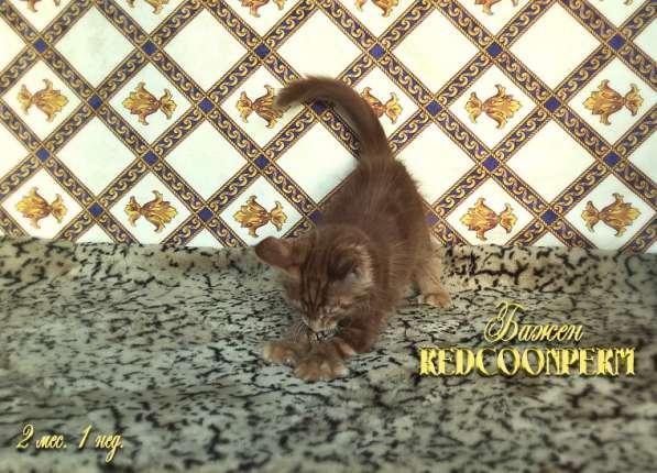 Котёнок менй кун красный солид. Шоу класс в Перми фото 14