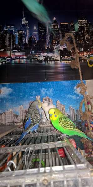 Волнистые попугаи-Самцы от 2х лет в Москве фото 5