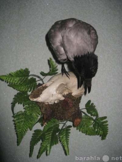 Чучело, композиция-ворона на черепе