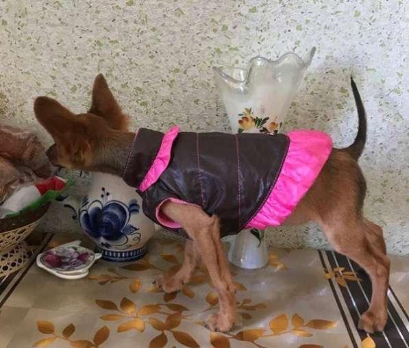 Той-терьера щенки бусинки в Москве фото 3