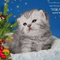Шотландские котята окраса Вискас, в г.Москва