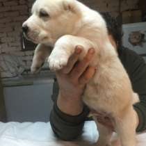 Алабая щенки белые, в Крымске