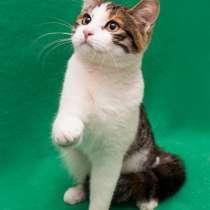 Трёхцветный котёнок хулиганка Лорейн в дар!, в Москве