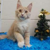 Кремовый котик мейн-кун, в Москве