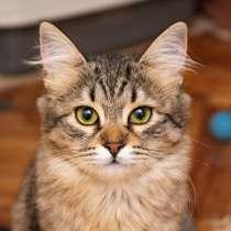 Полосатое очарование, домашний котенок-подросток Дафна в дар, в г.Москва