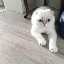 Шотландский котик с родословной, в г.Билефельд