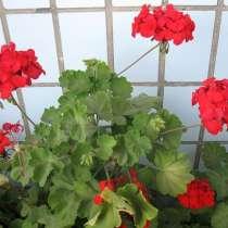 Герань красная, молодое растение, в г.Москва