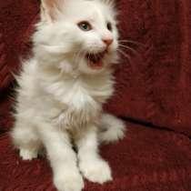 Мейн-кун белая кошечка ждёт своего хозяина, в Москве