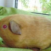 Породистая морская свинка, в г.Краснодар